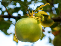 An Apple. Ripe green apple on a branch Stock Images