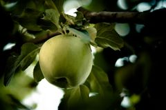 An Apple. Ripe green apple on a branch Royalty Free Stock Photo
