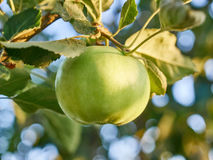 An Apple. Ripe green apple on a branch Stock Photo