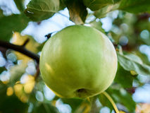 An Apple. Ripe green apple on a branch Royalty Free Stock Images