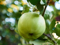 An Apple. Ripe green apple on a branch Royalty Free Stock Photography