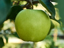 An Apple. Ripe green apple on a branch Royalty Free Stock Image