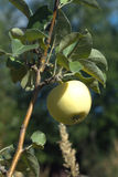 Apple ripen on apple tree branch on hot summer day. Vertical photos Royalty Free Stock Photography