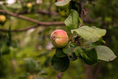 Apple ripening on apple tree branch. Ripening apple on a branch in the garden Stock Photo