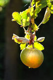 Apple riping on appletree in summer. Apple in eveningsun riping on appletree in summer - vertical image Royalty Free Stock Image