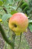 Apple rojo y verde en árbol Fotos de archivo libres de regalías