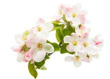 Free Apple Rosy Flowers Isolated Stock Images - 134586804