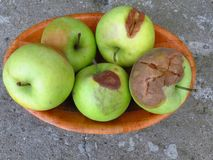 Spoiled apples. Spoiled orchard apple fruit harvest. Apple rot and other fruit rot fungi. Rotten apples. stock images