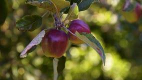 Apple rouge d'arbre clips vidéos