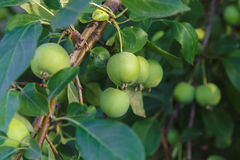 Apple. Rustic apples , harvest this year Royalty Free Stock Photo