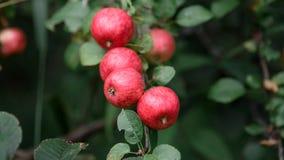 Apple rustique avec les pommes rouges sur le fond vert Photos libres de droits