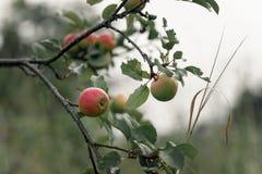 Apple rustique avec les pommes rouges sur le fond vert Photographie stock libre de droits
