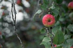 Apple rustique avec les pommes rouges sur le fond vert Photo libre de droits