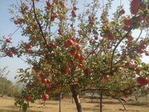 Apple s'embranchent avec des pommes photographie stock