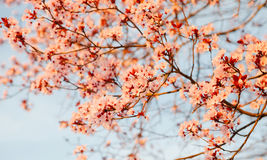 Apple s'embranchent complètement des fleurs Photographie stock