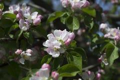 Apple s'embranchent des fleurs Image libre de droits