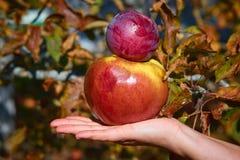 Apple sae à disposição árvores da natureza verde do sol foto de stock royalty free