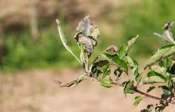 Apple sae contaminado e danificado pelo oídio pulverulento de doença de fungo Fotografia de Stock Royalty Free