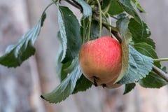 Apple sauvage sur une branche d'arbre, feuilles Photo libre de droits
