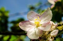 Apple sboccia albero fotografia stock libera da diritti