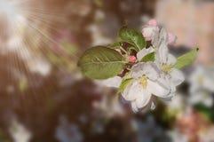 Apple sboccia alla luce del tramonto Immagini Stock Libere da Diritti