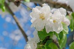 Apple sboccia, fiorendo su di melo dopo le precipitazioni nevose della molla Fotografia Stock Libera da Diritti