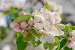 Apple sboccia, fiorendo su di melo dopo le precipitazioni nevose della molla Fotografia Stock