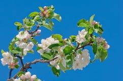 Apple sboccia, fiorendo su di melo dopo le precipitazioni nevose della molla Immagini Stock