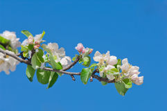 Apple sboccia, fiorendo su di melo dopo le precipitazioni nevose della molla Fotografie Stock Libere da Diritti