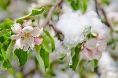 Apple sboccia, fiorendo su di melo dopo le precipitazioni nevose della molla Immagine Stock Libera da Diritti