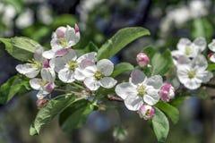 Apple sboccia fiori fotografia stock