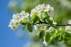Apple sboccia fiori bianchi Fotografia Stock Libera da Diritti