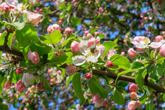 Apple sboccia in primavera Immagini Stock