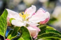 Apple sboccia a primavera Immagine Stock Libera da Diritti
