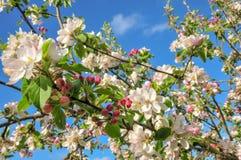 Apple sboccia in primavera fotografie stock libere da diritti