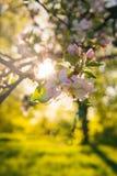 Apple sboccia su di melo in un giardino domestico con il sole che splende dietro immagini stock libere da diritti
