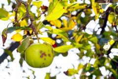 Apple scab, disease. Ill apples Royalty Free Stock Photos