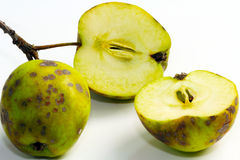 Apple scab, fruit disease Stock Photos