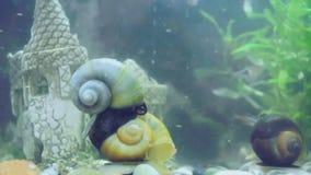 Apple-Schnecken im Aquarium stock video