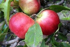 Apple «Scrumtious» Στοκ Φωτογραφίες