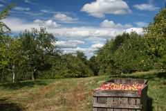 Apple Season. Freshly picked apples at the orchard Stock Photo