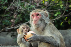 Apple sharing. A young rhesus macaque and a crab eating macaque sharing an apple Royalty Free Stock Photos
