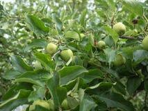 Apple si ramifica in pieno delle mele verdi, fine sulla vista Gocce di pioggia sulle foglie verdi Fondo della biomassa frondosa i Immagine Stock