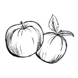 Apple, sketch, hand drawing, vector illustration isolated on white background Royalty Free Stock Photo