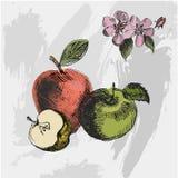 Apple skissar Dragen vektor för tappningfärgpulver hand av olika äpplen på grungebakgrunden Royaltyfri Bild