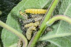 Apple small ermine moth, caterpillar feeding Royalty Free Stock Photo