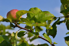 An apple. A small greenish-red apple on a branch of an apple tree Royalty Free Stock Photography