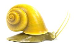 Apple snail. 3d render of apple snail Royalty Free Stock Photo