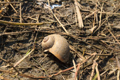 Apple snail shell Stock Image
