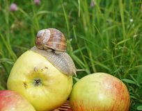 On apple snail Royalty Free Stock Image